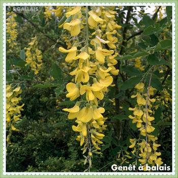 Genêt à balais-Cytisus scoparius
