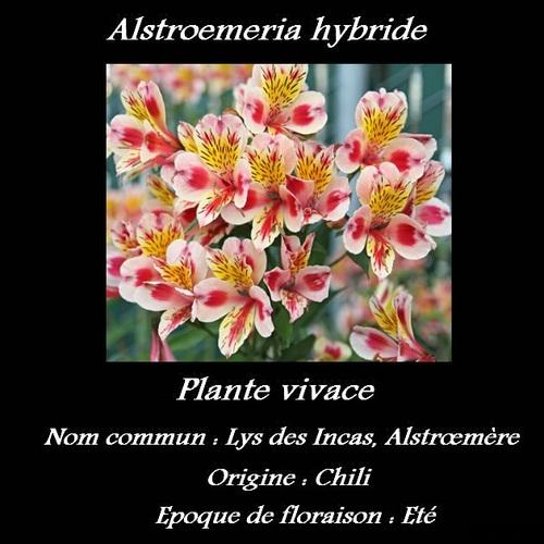 Alstroemeria hybride
