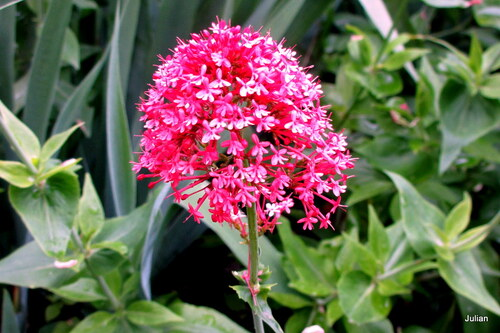 Valériane en fleur