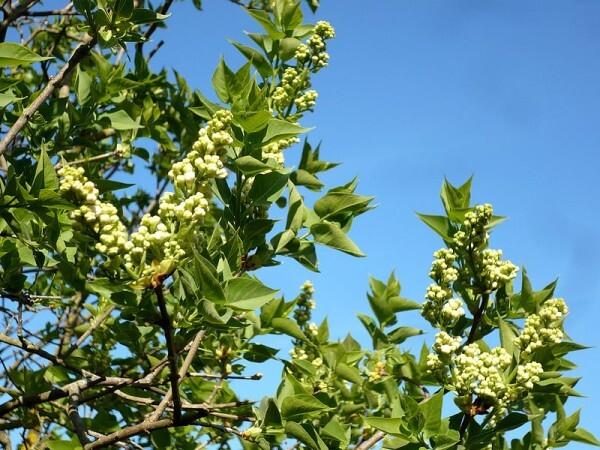 Premieres-fleurs-aux-arbres-2.JPG