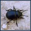 Timarche ténébreuse-Crache-sang-Timarcha tenebricosa