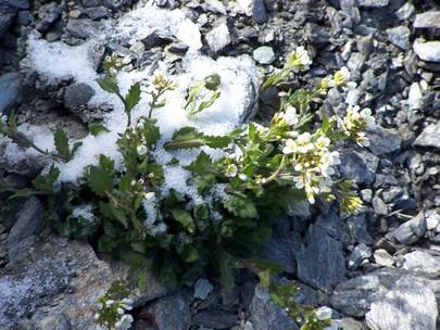Fleurs de montagne dans la neige