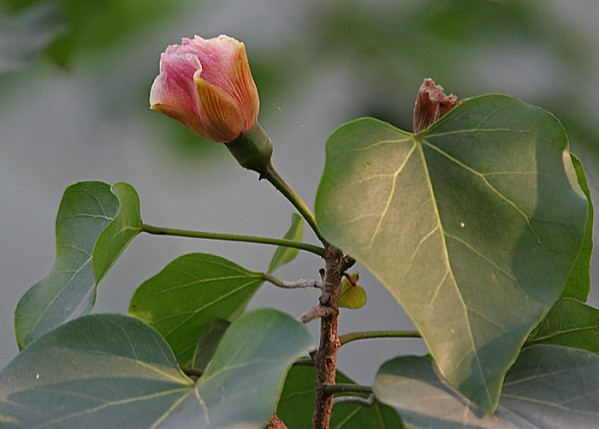 Indian Tulip Tree (Thespesia populnea) flower & leaves in K