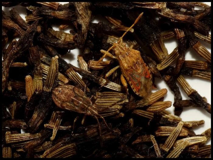 Stictopleurus abutilon/pictus.