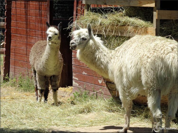 Photo de Lamas - Planet Exotica - Royan