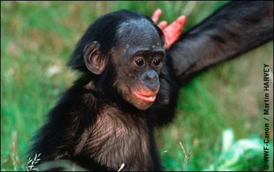 Le bonobo