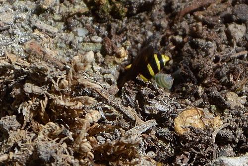 Guêpe Gorytes laticinctus - crabronidae