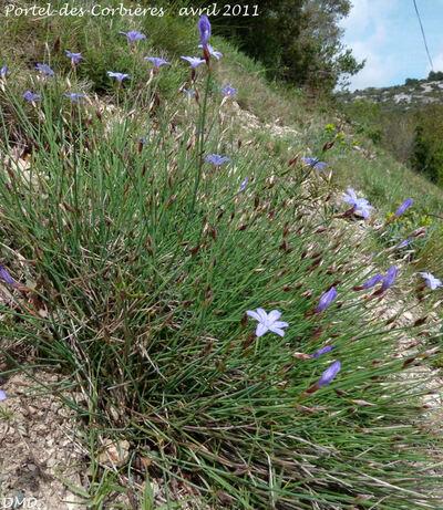 Aphyllanthes monspeliensis  -  aphyllante de Montpellier