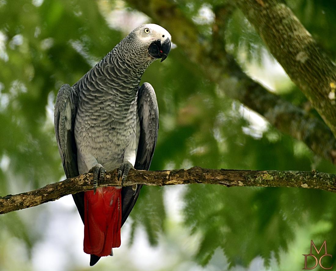 Perroquet jaco, gris du gabon