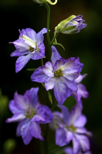 Delphinium consolida Frosted Skies