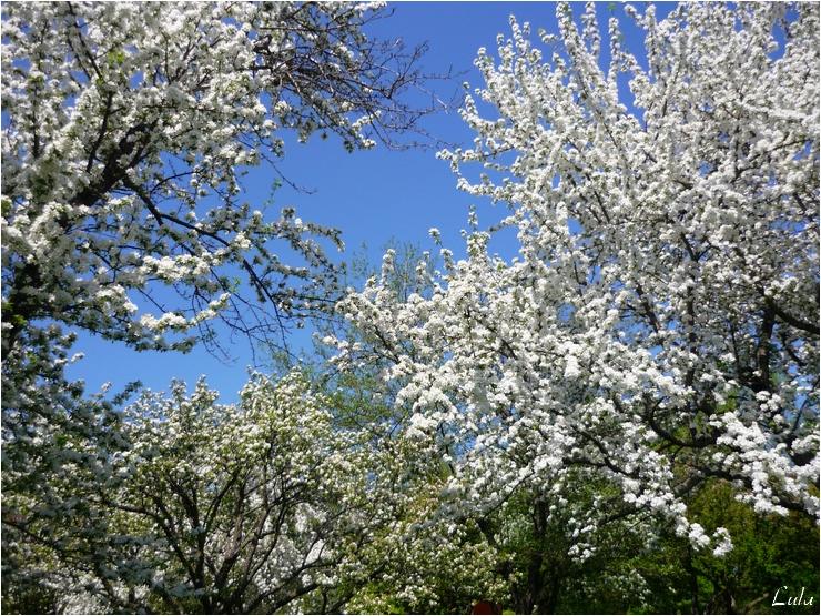 Cerisiers d'ornement en fleurs