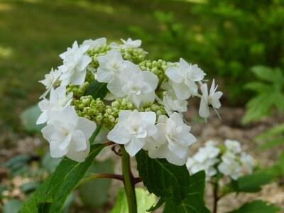 """Hydrangea """"weeding gow cov"""""""