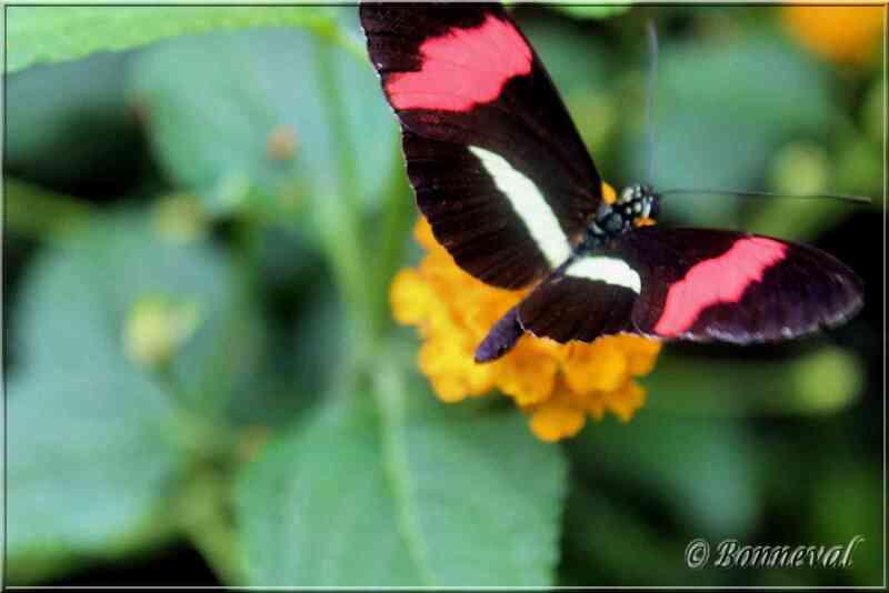 Papillons tropicaux Heliconius erato