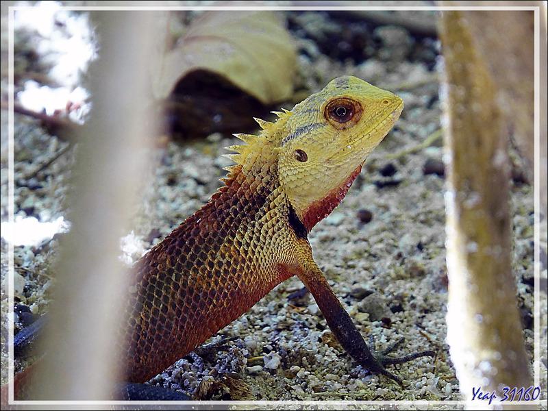 Lézard Agame arlequin « Caméléon », Common Garden Lizard, Bloodsucker, Changeable lizard (Calotes versicolor) - Moofushi - Atoll d'Ari - Maldives