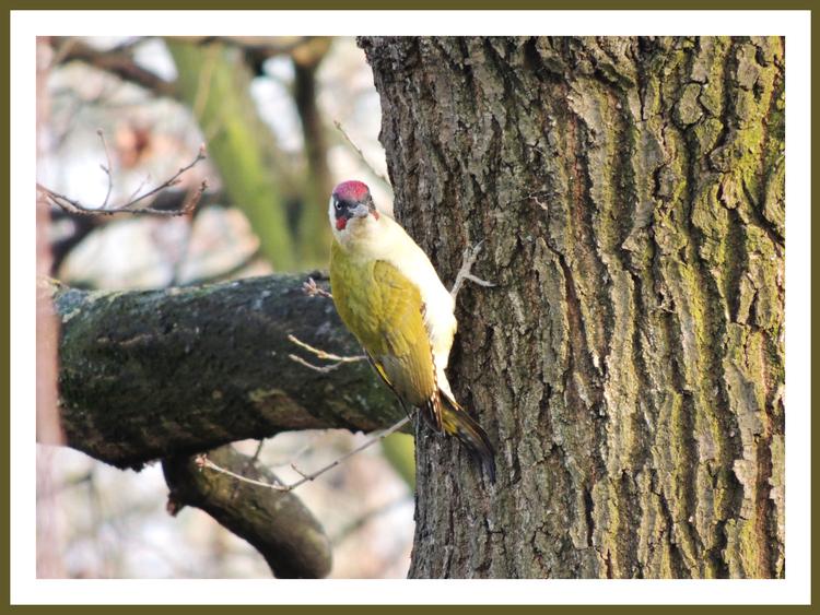 Oiseaux de nos jardins.Pivert.Pic vert.