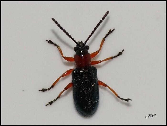 Oulemus melanopus.
