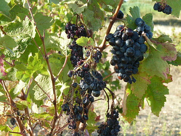 vignes-automne-027.JPG