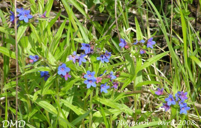 Lithospermum purpurocaeruleum - grémil pourpre-bleu