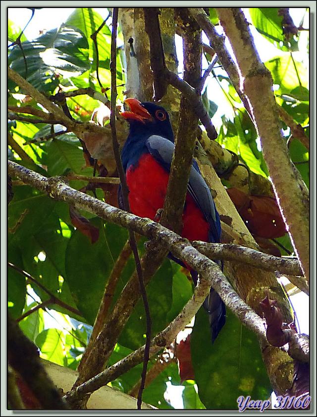 Blog de images-du-pays-des-ours : Images du Pays des Ours (et d'ailleurs ...), Trogon de Masséna (Trogon massena) - Dominical - Costa Rica