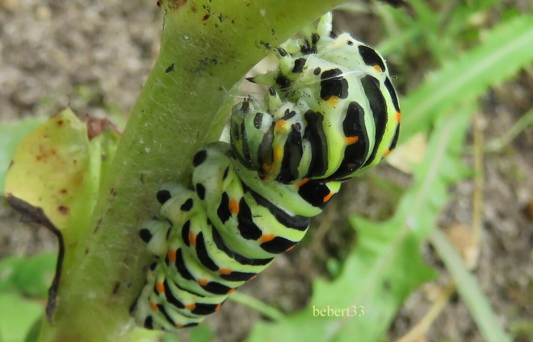 une chenille de papillon -2