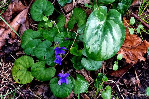Les premières violettes