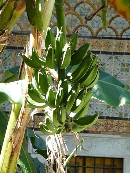 bananes-a-Tunis.JPG