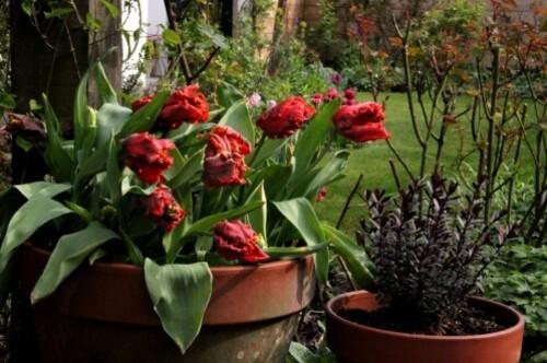Tulipes Rococo8