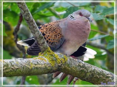 Tourterelle des bois, European Turtle Dove (Streptopelia turtur) - La Couarde-sur-Mer - Ile de Ré - 17