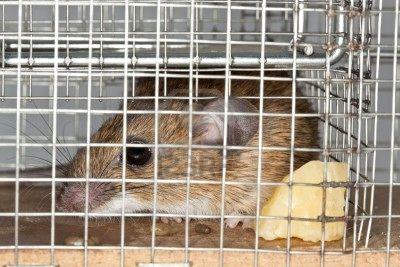 5903345-rat-pris-au-pi-ge-sans-cruaut-utilis-e-pour-capture