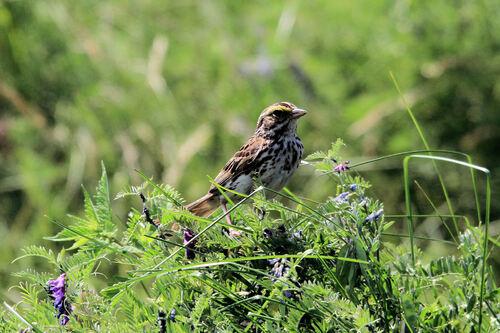 Bruant des Prés (Savannah Sparrow)