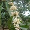 fleur-de-cafeier