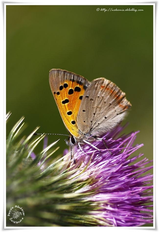 Cuivré commun - Lycaena phlaeas - Lycaenidae