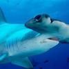 requin marteau 4.jpg