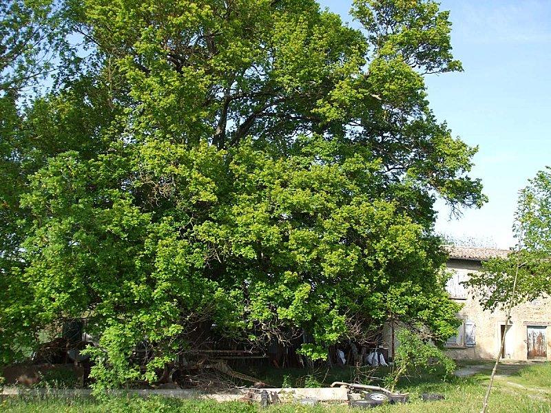 arbres remarquables l 39 rable champ tre le chant de l 39 alouette. Black Bedroom Furniture Sets. Home Design Ideas