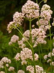 Valériane officinale fleur