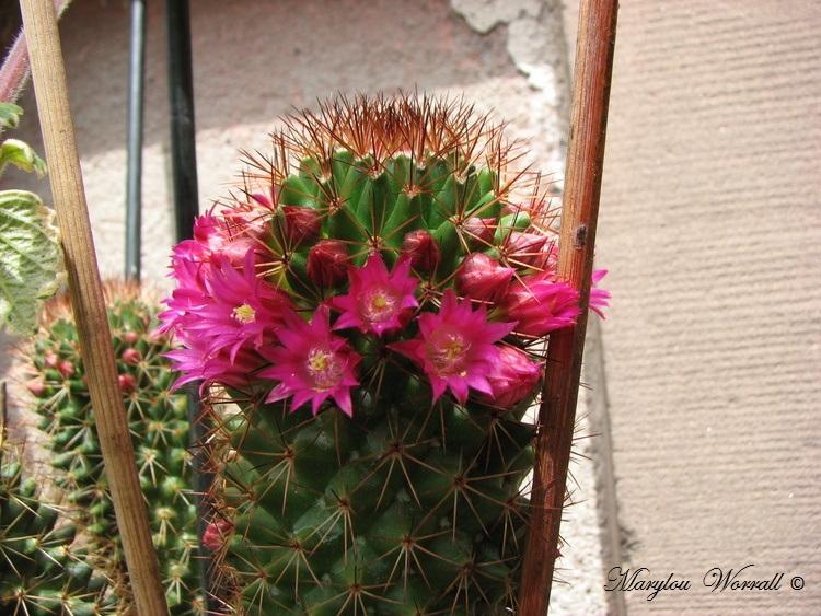 Mon vieux cactus est toujours en fleurs