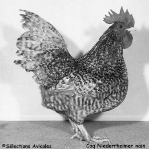Coq-Niederrheimer-nain.jpg