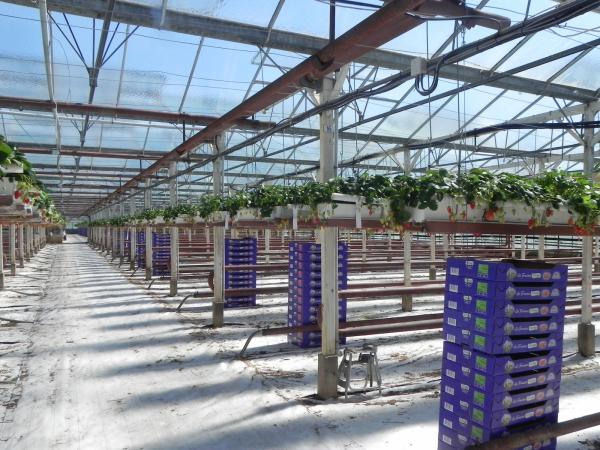La culture des fraises en Bretagne  Au fil de lAisne