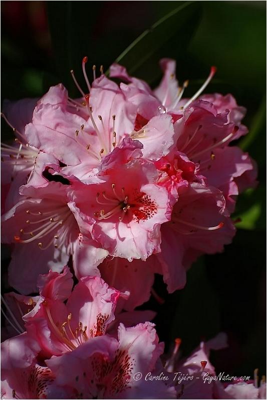 Rhododendron épanoui