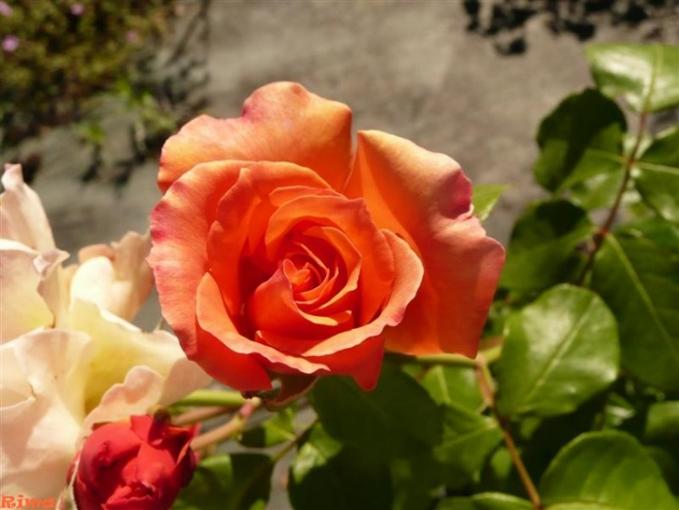 Les roses ,