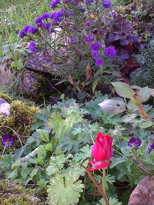 """""""La rose et son amie l'aster"""""""