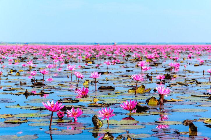 10102304-le-lac-aux-lotus-pres-d-udon-thani