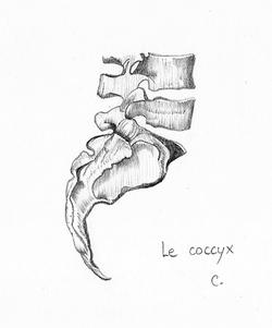 Le coccyx