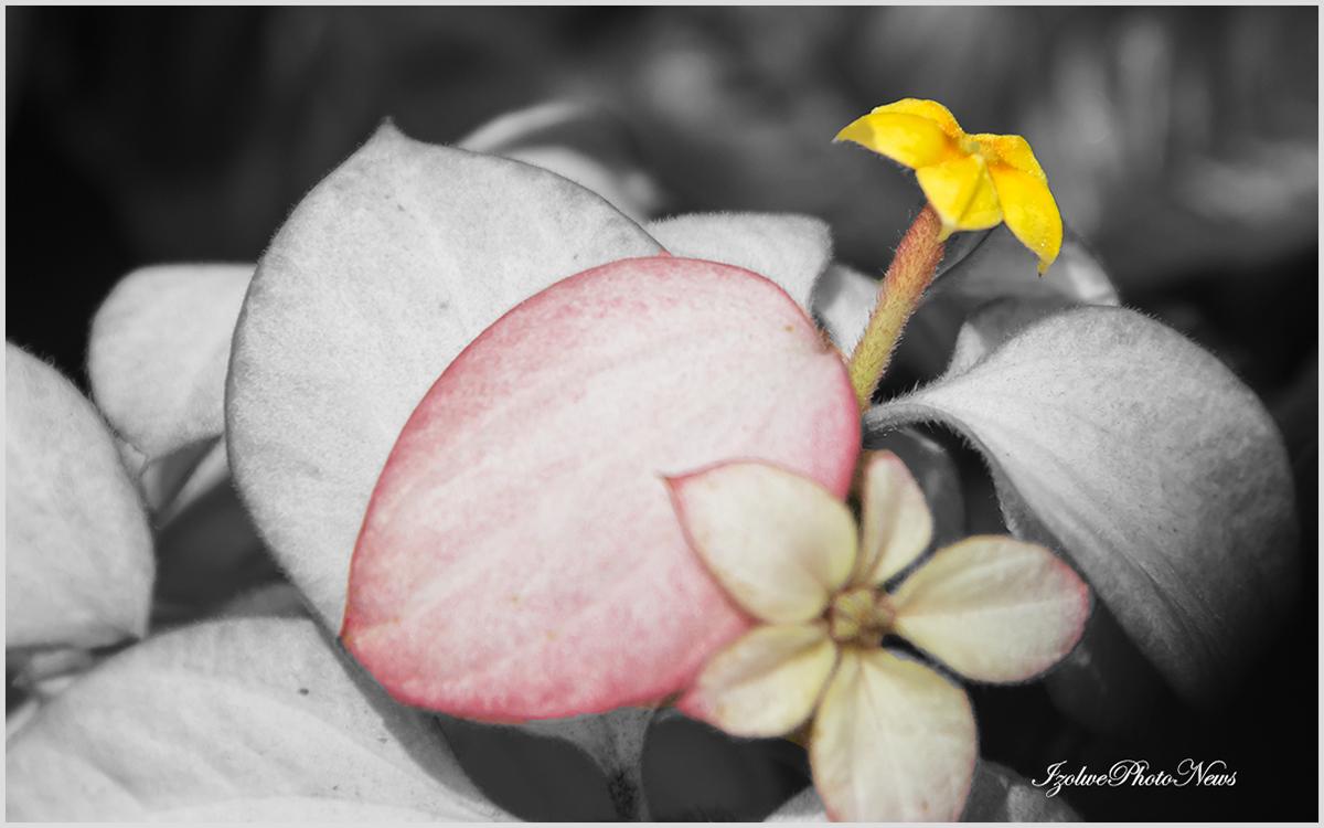 Trois fleurs en une