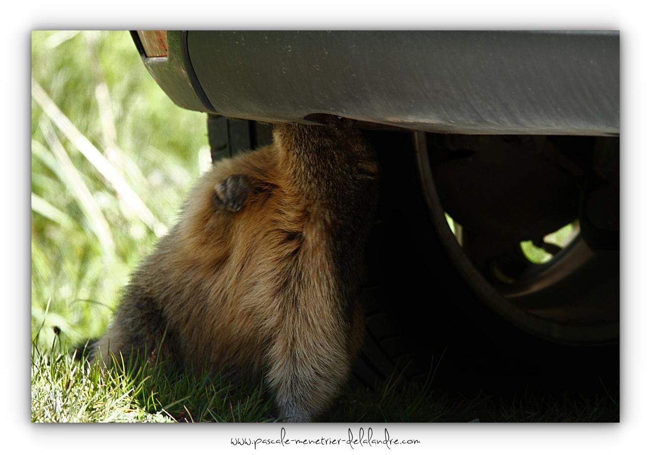 Les rongeurs adorent votre voiture !