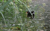 Gallinule Poule-d'eau - p 206