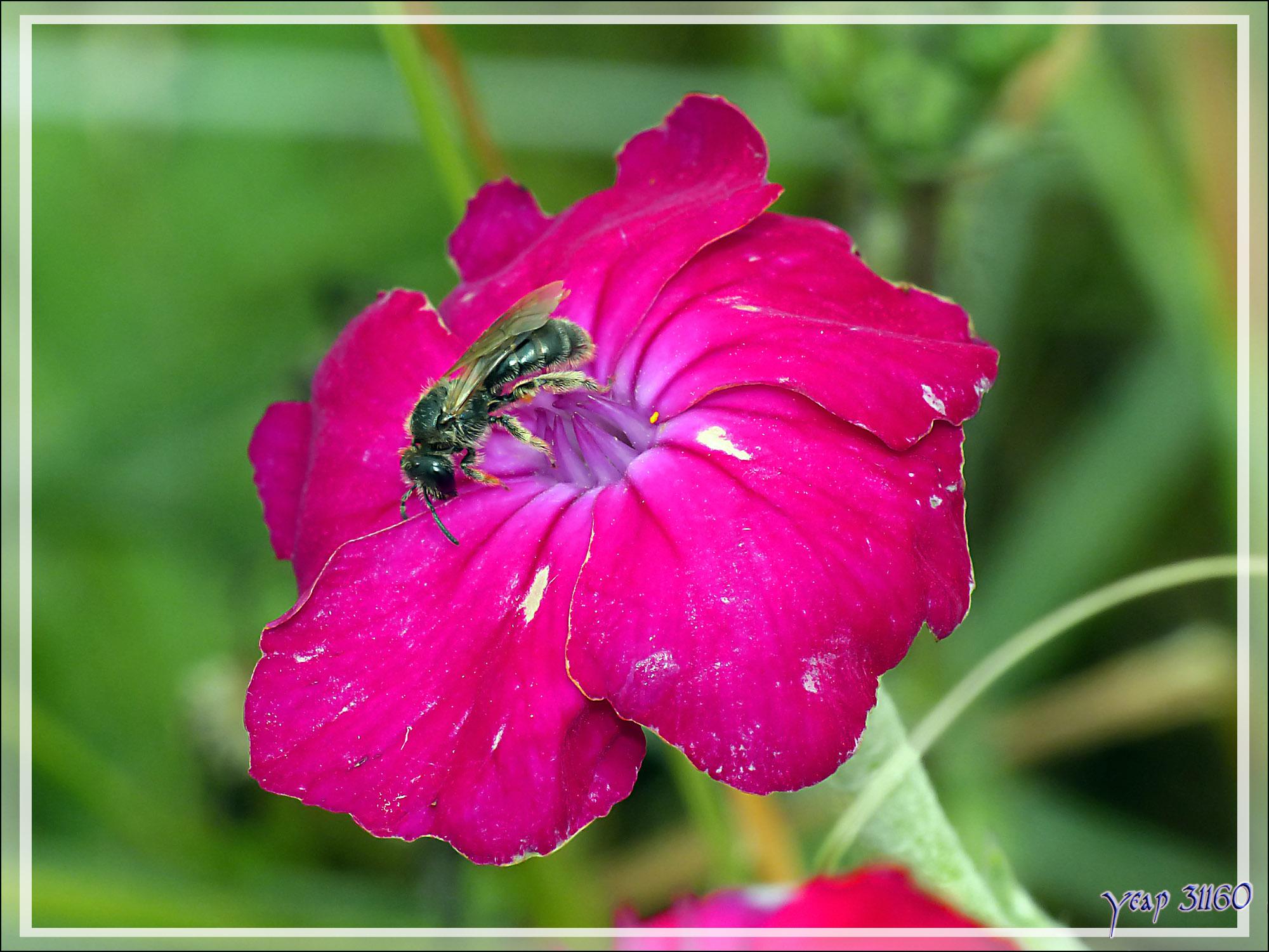 Coquelourde des jardins, Silène coronaire, Ragged Robin (Lychnis coronaria) - La Couarde-sur-Mer - Île de Ré - 17