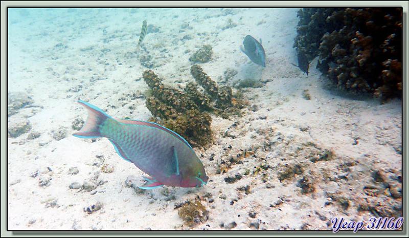 Plongée en apnée dans le lagon (2m50 d'eau maximum à marée haute) : Poisson perroquet - Moorea - Polynésie française