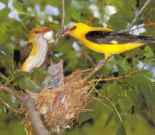 Oiseaux page 7 chezmamielucette for Oiseau jaune et noir