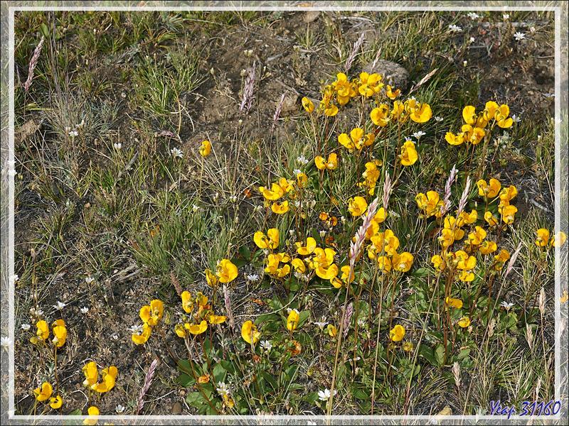 Une autre sorte de Zapatito de la Virgen ou Capachito (Calceolaria polyrhiza) - Autour du Glaciarium - El Calafate - Patagonie - Argentine